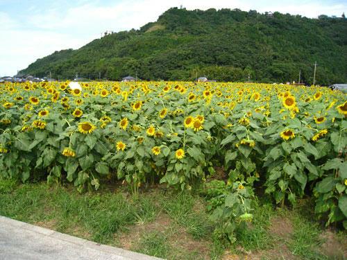 杷木町の向日葵畑
