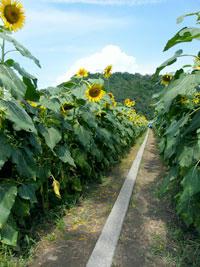 向日葵の小道