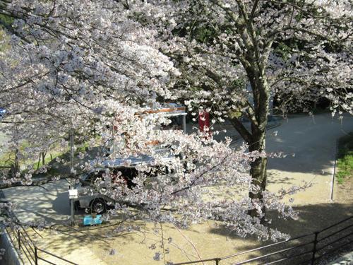 久留米の桜