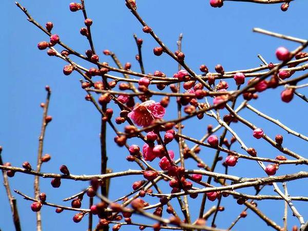 ちらっと咲いてる紅梅