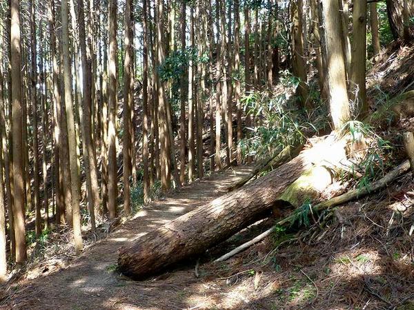 行く手を遮る倒木