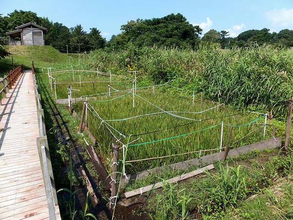 栽培される古代米