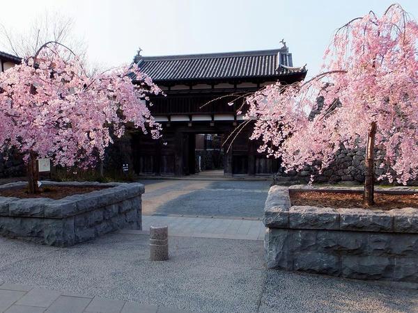しだれ桜と大手門