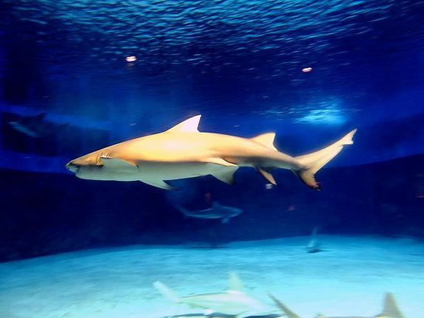 『危険サメの海』のオオメジロザメ