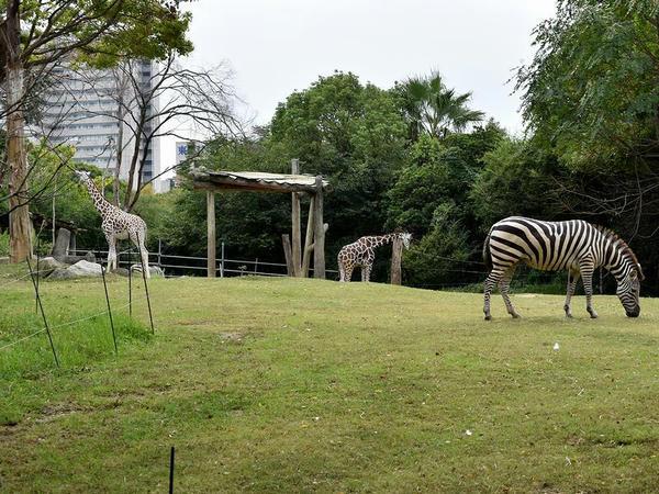 アフリカサバンナゾーンに佇むキリンさんとシマウマさん