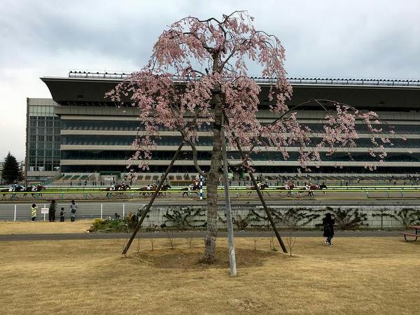 内馬場の桜