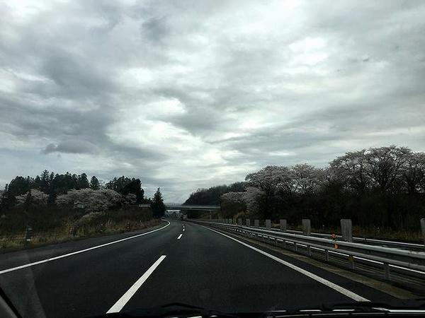 桜が満開の東北自動車道を北上