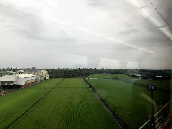 車窓から見た稲が育っている水田