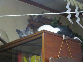 子猫たち 食器棚の上が新しい居場所