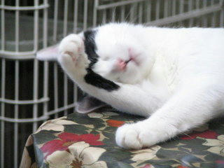 シロミミが顔を洗う 6