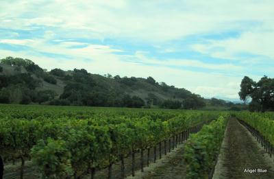 サンタバーバラ ワイン畑