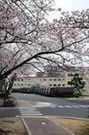 09守山桜祭り2