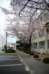 09守山桜祭り4