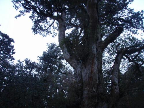 縄文杉の樹冠。