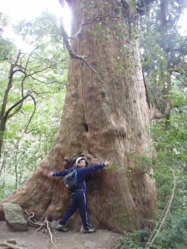 こーんなに大きな杉があるんです。