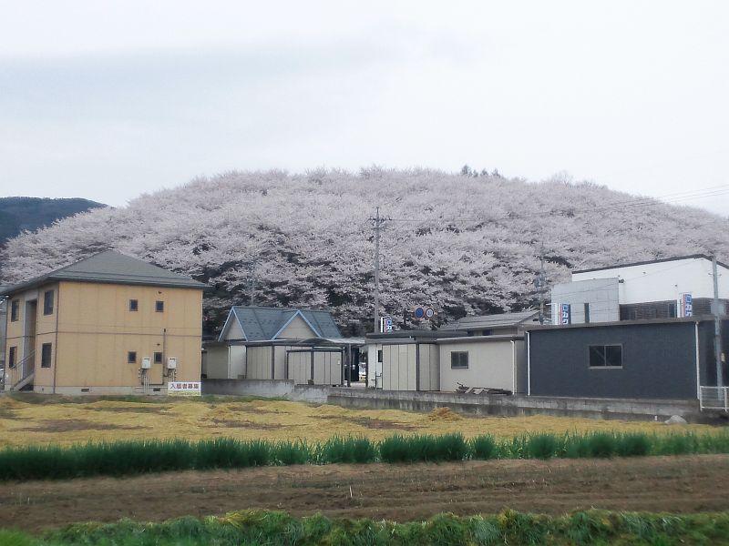 Hanami03.jpg