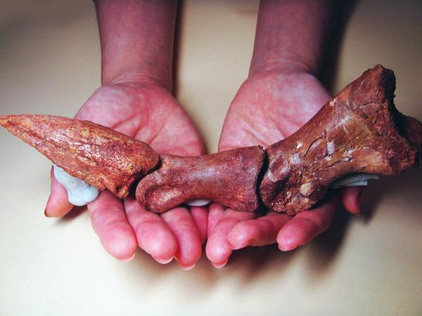 化石 恐竜のカギ爪