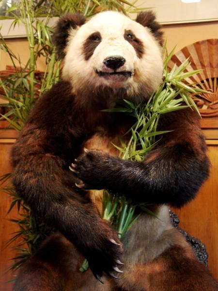 本物 パンダの剥製 熊猫