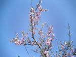 桜(地元)1