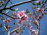 桜(地元)2