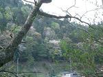 山桜(京北)2