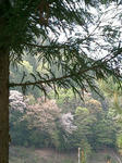 山桜(京北)1