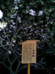 造幣局・桜の通り抜け3