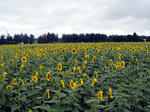 090728sunflower.jpg