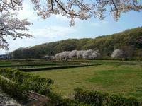 北山公園の桜
