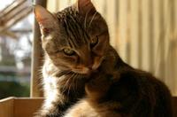 猫のサスケ