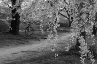 桜とマイチャリ