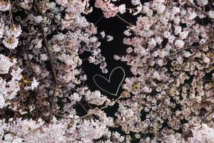 sakura.heart.jpg