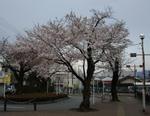 秋川駅南口の桜