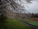 秋留台公園グランドの桜