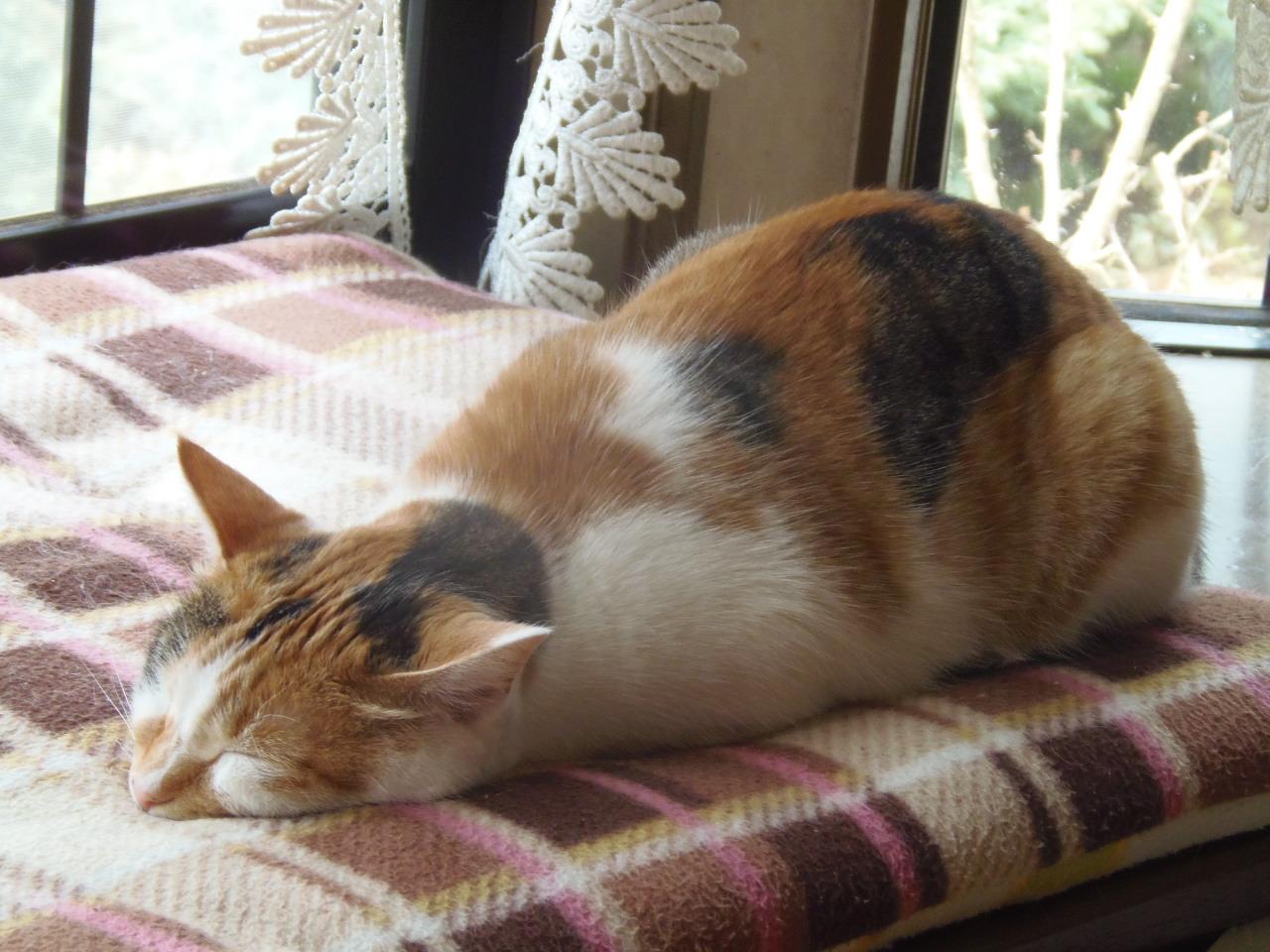 猫 ツチノコ寝