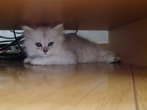 チンチラ仔猫