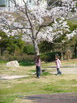 桜がいっぱい咲いてるよー