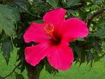 280px-Hibiskus_rosa-sinensis_-_Kwiat.JPG