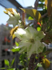 黄桜 ウコン