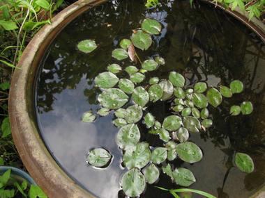 スイレン鉢