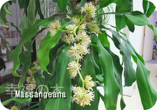 マッサン(幸福の木)の花