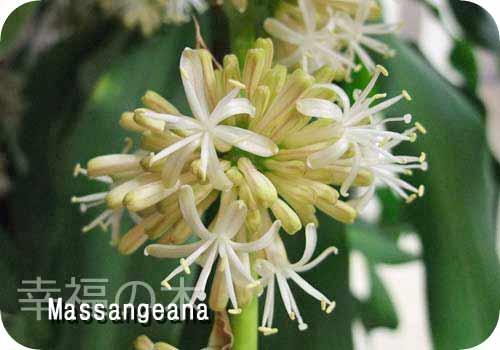 マッサン(幸福の木)の花 アップ