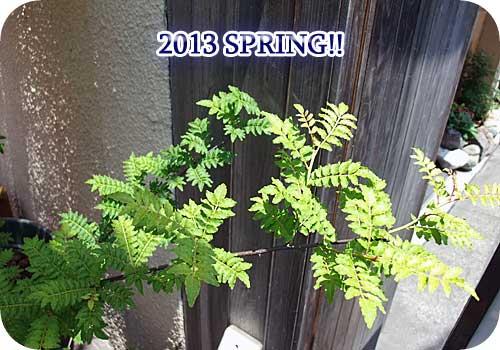 山椒の鉢植えもアリマス
