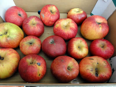 リンゴ 2010