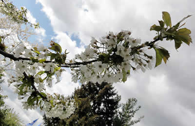 桜 2011 霰の後