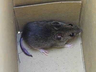 ネズミの画像 p1_8