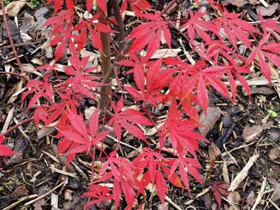 紅葉した庭のモミジ