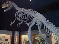 800px-Allosaurus1.jpg