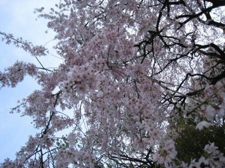 sakura_souunnji_050408.JPG