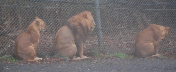 落ち込むライオン